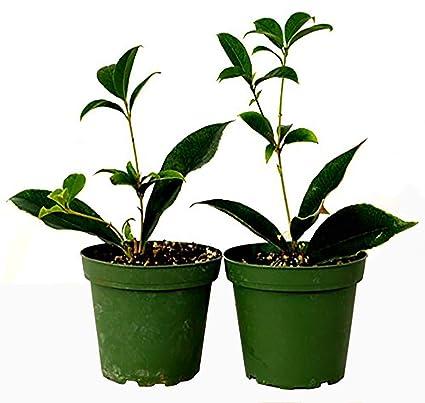 Amazon.com: 9 Greenbox – Sweet Árbol Osmanthus – 2 Pack de 4 ...