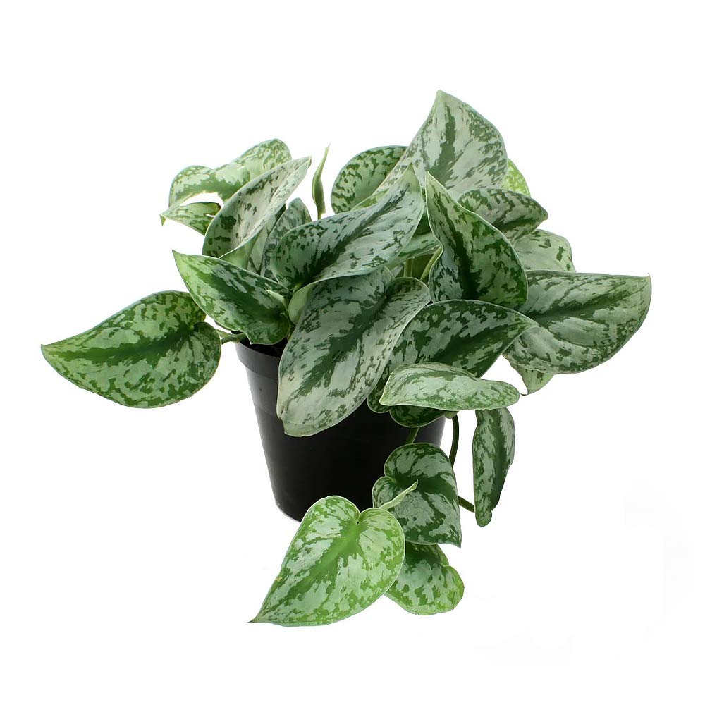 AMERICAN PLANT EXCHANGE Silver Splash Pothos Live Plant, 6'' Pot, Top Indoor Air Purifying Beauty by AMERICAN PLANT EXCHANGE