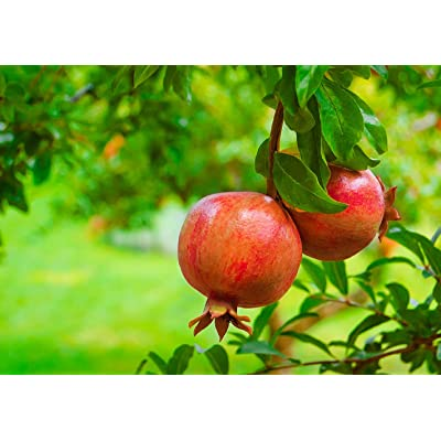 "Pomegranate Fruits 12""-18"" Live Tree Outdoor Plant Gardening tkopic : Garden & Outdoor"