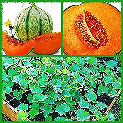 """10+ Charentais,""""Non~GMO"""" French Heirloom Cantaloupe~Melon Seeds, Juicy & Sweet."""