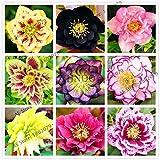 Portal Cool Hellebore (Christmas Rose) Helleborus Niger Flower Seed Novelty Plant 100 Pcs