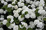 "'Popcorn' Japanese Snowball Bush - 4"" pot - Viburnum"