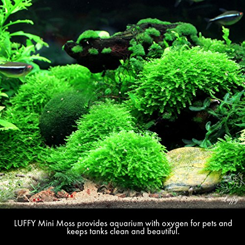 Luffy coco mini moss builds a beautiful and natural for Fish tank care