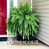 New 100PCS Japanese Rare Creeper Boston fern seeds
