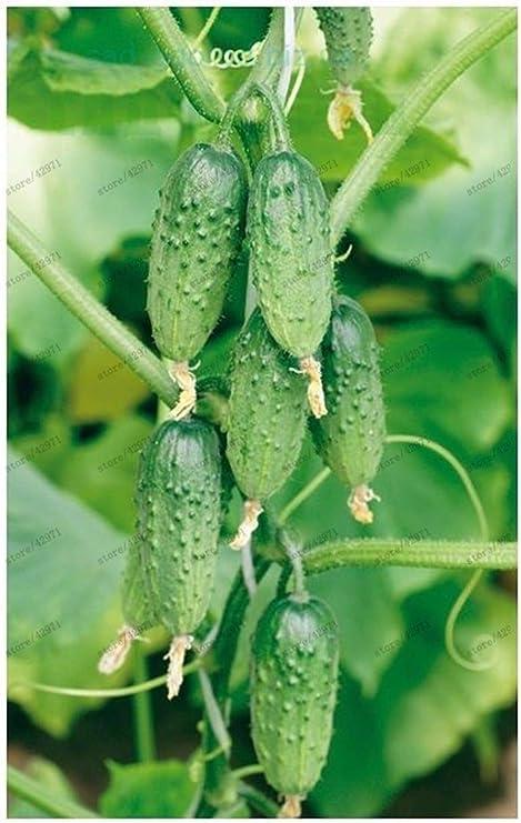 AGROBITS bonsai 100 PC//las mini semillas de pepino bolsa ni GMO deliciosa fruta pepino y semillas de hortalizas al aire libre para la planta jard/ín de su casa