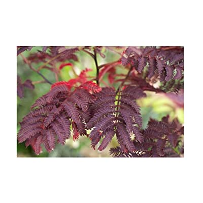 5 Albizia Summer Chocolate Purple Mimosa Silk Tree Seeds for Planting Outdoors Egarden : Garden & Outdoor
