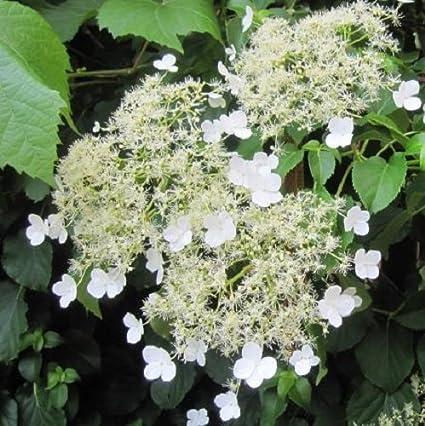 Hortense - Hortensia Petiolaris (para jardin, balcón y patio ...