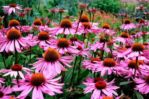 Echinacea Purpurea Coneflower Seeds - Perennial Herb Flower - Non-GMO Open (Echinacea Seeds)