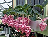 Medinilla Flower Seeds - ROSE GRAPE - Tropical Beauty - Rare $ Unique - 10 Seeds