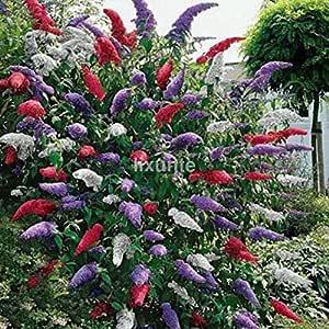TOMHY Las Semillas del Paquete: Semillas 20Pc erflySeeds Tierra de jardín de Colores Rojo Blanco PurpleHot: Amazon.es: Hogar