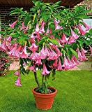 12 Seeds Dwarf Brugmansia Suaveolens Pink Seeds (Angel's Trumpet)