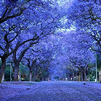 Seltene Palisanderholzbaum Baumsamen Bonsai Baum Jacaranda