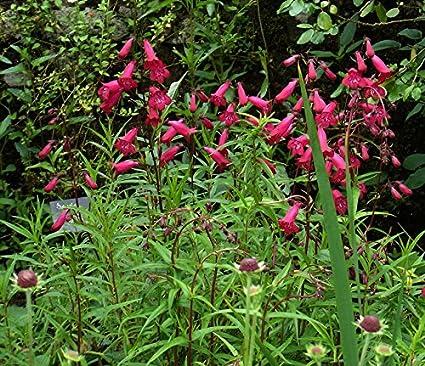 amazon com beard tongue red aka penstemon garnet live plant