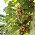 MALE Tomuri KIWI FRUIT Vincent -Great for warm areas- Vine Plant Edible Actinidia chinensis