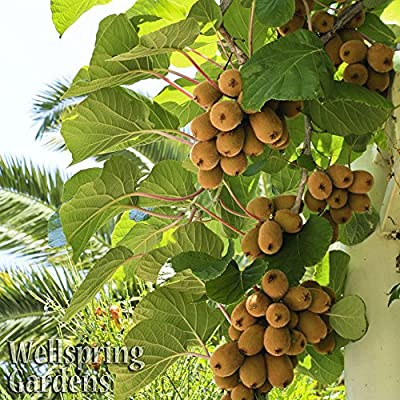 FEMALE Vincent KIWI FRUIT Vincent -Great for warm areas- Vine Plant Edible Actinidia chinensis