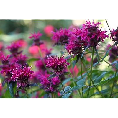 Crimson beebalm - variety mix; Scarlet beebalm, Scarlet monarda, Oswego tea - seeds : Garden & Outdoor
