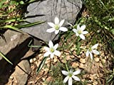 5 Bulbs Star of Bethlehem winter hardy bulb plant Spring Planting