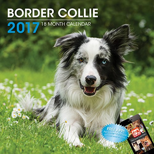 LittleGifts Border Collie 2017 Calendar (3049)