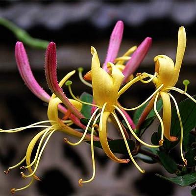 100Pcs Honeysuckle Seeds Fragrant Flowers Herbal Plant for Home Garden Fences Yard Decoration Flowers Plants : Garden & Outdoor