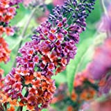 Buddleia Bi-Color Butterfly Bush ~ Bi-Color~ 4 inch pot