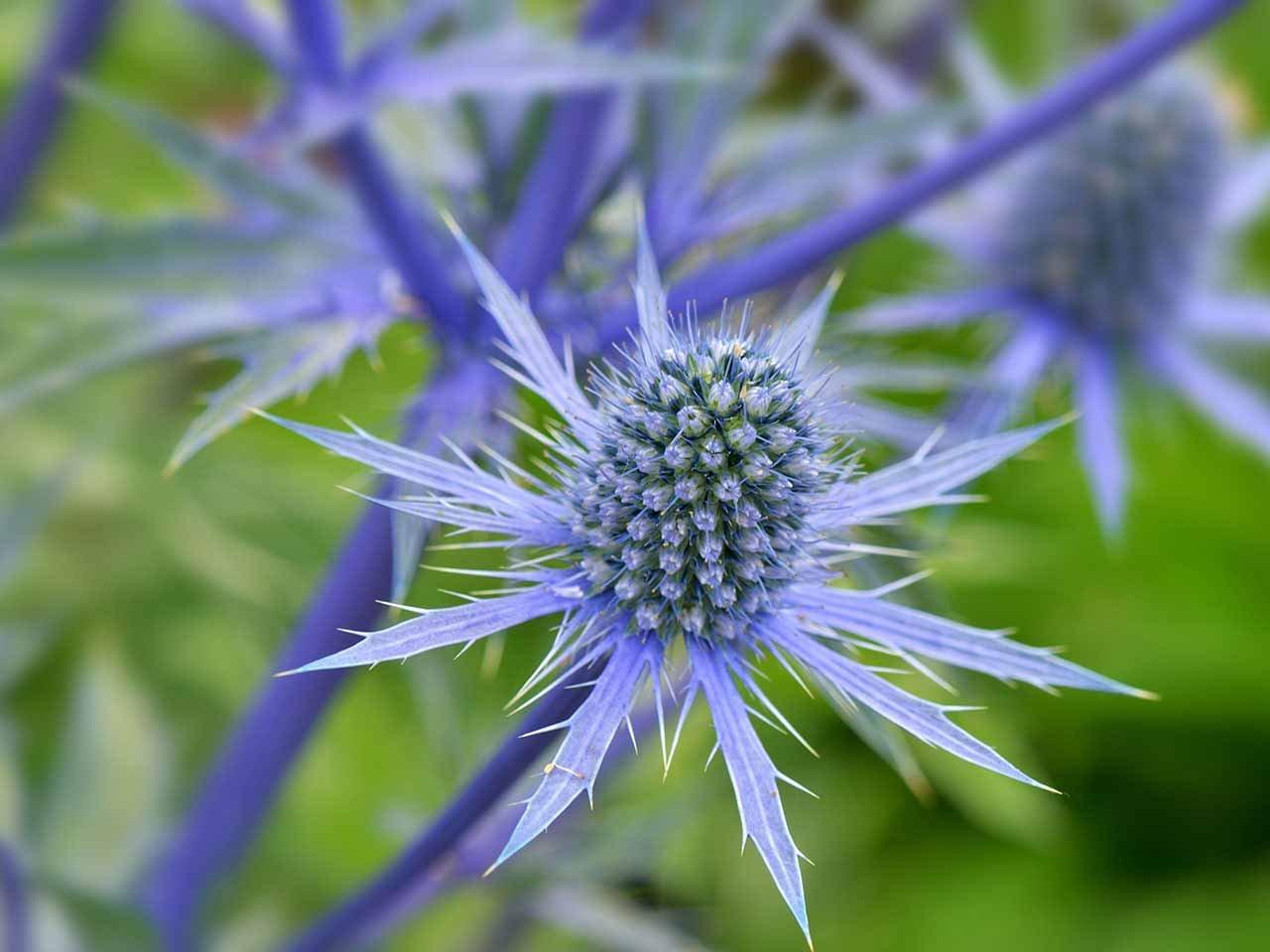 Cheap 200 sea holly blue flower seeds eryngium planum cheap 200 sea holly blue flower seeds eryngium planum izmirmasajfo
