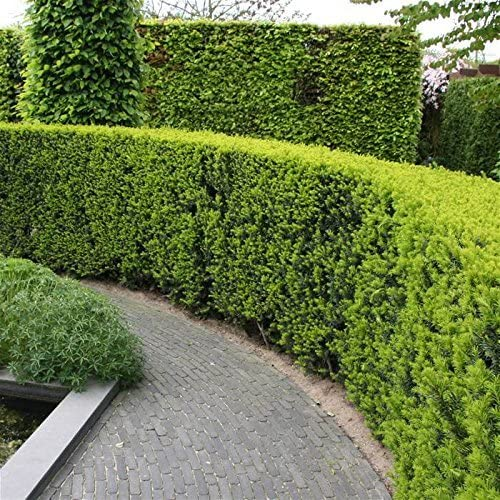 Amazon Com Podocarpus Macrophyllus Japanese Yew 40 Live Plants Evergreen Privacy Hedge Shrub Garden Outdoor
