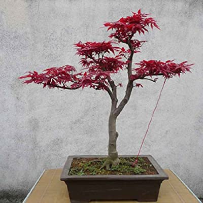 Plant Seeds for Planting 10Pcs Japanese Maple Tree Acer Palmatum Seeds Garden Home Decoration Bonsai : Garden & Outdoor
