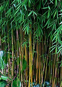 100x Fresh Black Bamboo Seeds w/ Instructions (Fargesia Sp Jiuzhaigou 4)
