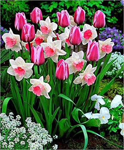 GARTHWAITE Nurseries : - Apricot/Pink Large Cupped Daffodils & Pink Triumph Tulips. Hardy Garden Spring Perennial Collection (Perennial Tulip Collection)