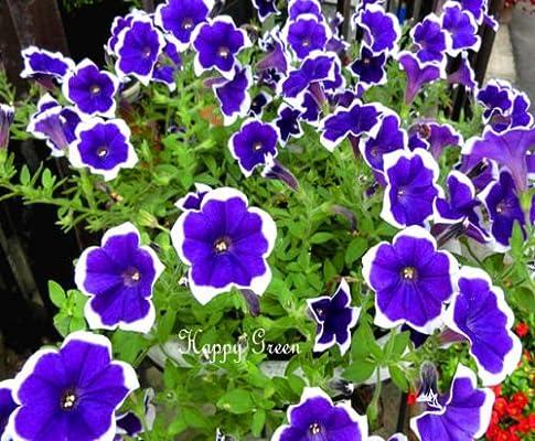 PETUNIA MULTIFLORA PICOTEE BLUE 400 seeds Petunia hybrida multiflora nana