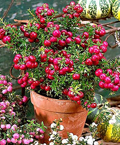 1 planta de azúcar Pernetya roja jarrón 14 cm Centro de mesa ...