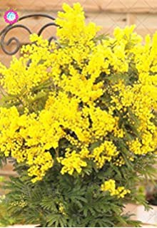 Amazon garden plant 100 pcs mimosa seed acacia yellow tree 50pcs bonsai golden mimosa seeds beautiful acacia baileyana yellow wattle flower seeds perennial garden aromatic plant mightylinksfo