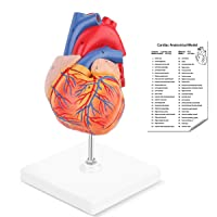 RONTEN Human Heart Model, 2-Part Life Size Anatomically Accurate Numbered Heart Medical Model, Held Together with Magnets on Base