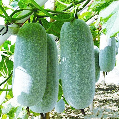 Winter Melon Seeds 10g Wax Gourd Hairy Round Tong Qwa Garden Vegetable Organic Chinese Green Fresh Climbing Herb Seeds for Planting Outdoor for Cooking Dish Soup