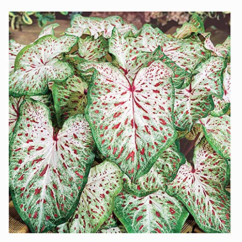 Dwarf Gingerland Caladium - White with Red Marks - Top Size Roots - Zones 9-11 (Caladium Plant)