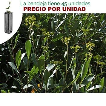 Bupleurum fruticosum - Adelfilla