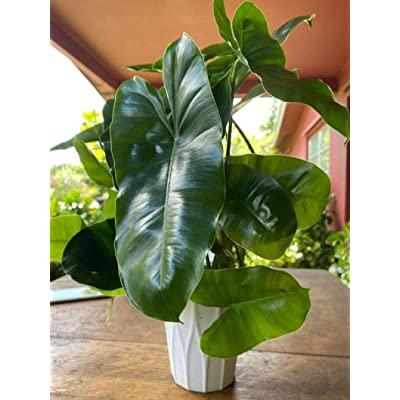 One Philodendron Burle Marx, Cutting : Garden & Outdoor