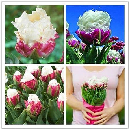 Amazon Com 10 Bag Tulip Seeds Rare Ice Cream Tulip Flower