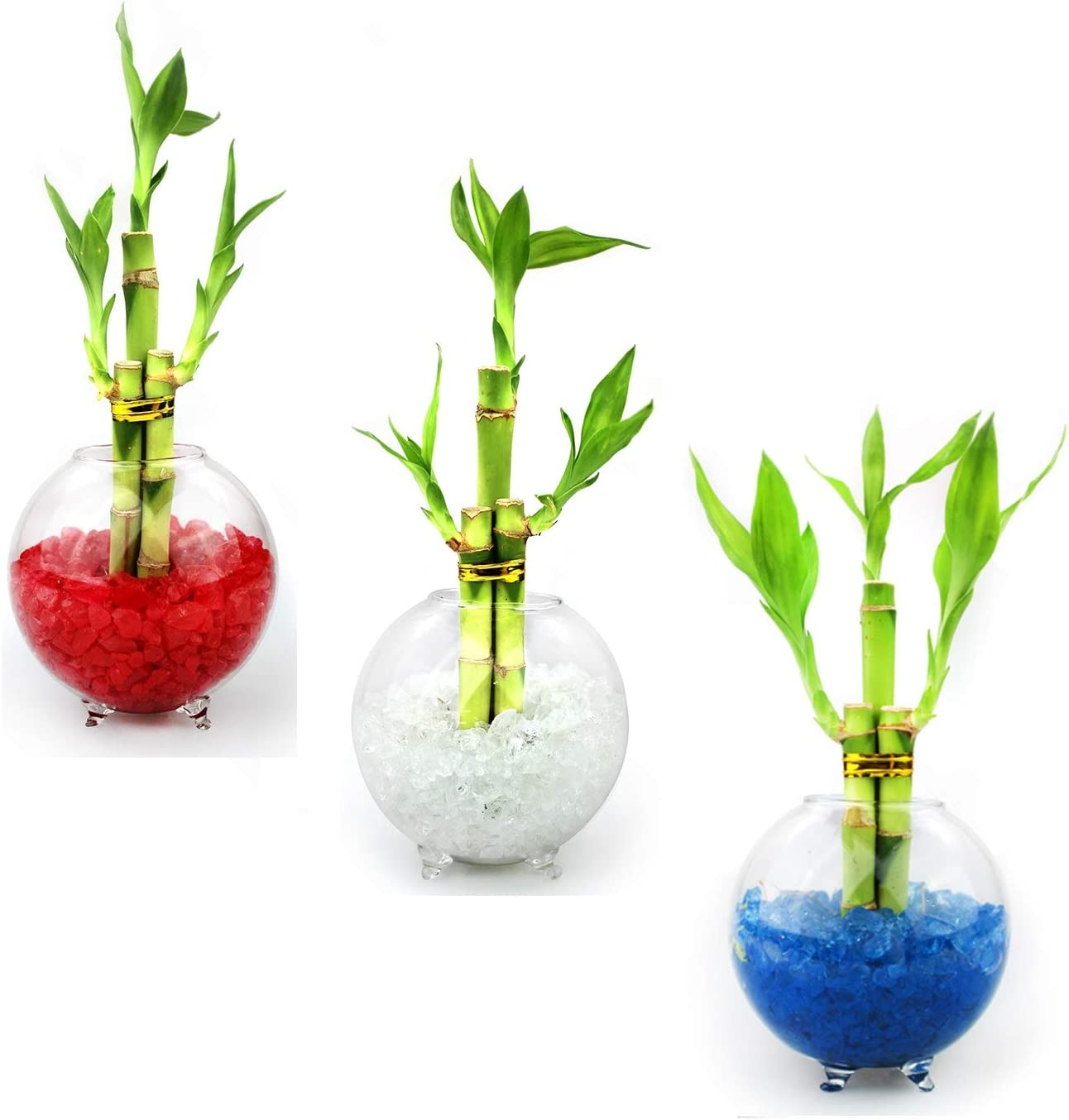 NW Wholesaler – Set of 3 Live Lucky Bamboo 3 Stalk Arrangements in Glass Orb Vase Terrariums with Colored Glass Pebbles Red, White, Blue