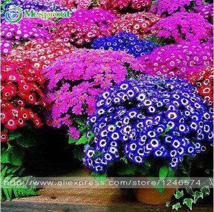 NUEVO Hermosa Floristerías Cineraria de semillas Las semillas de la maceta de la flor del jardín de DIY 100pcs / bolsa de Bonsai Decoración: Amazon.es: ...