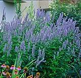 Blue Fortune Hummingbird Mint - Agastache - Anise Hyssop - Live Plant - Gallon Pot