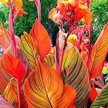 Samen Blumensamen Canna Schöne Blume Mischung Aus Indica Samen