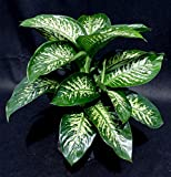 Dumb Cane 'Tropic Snow' Premium Foliage Aka Dieffenbachia Tropic Snow Live Plant - Fit 1 Quart pot - w FREE GIFT per request - From Bellacia Garden