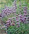 30 Seeds of Sage Cleveland / Salvia clevelandii