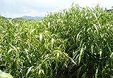 Chinese Pearl Barley Coix Chinensis Seeds 100pcs, Adlay Coixseed Job's Tears Seeds, Family Poaceae Adlai Coix Lacryma-jobi Seeds
