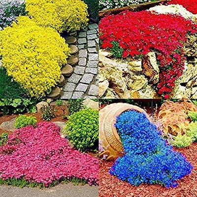 LOadSEcr's Garden 10/20Pcs Rock Cress Seeds Non-GMO Ornamental Plants Yard Office Decoration, Open Pollinated Seeds - Yellow 20pcs Rock Cress Seeds : Garden & Outdoor