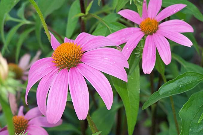 LONG PERENNIAL 250PCS F4J8 CONE-FLOWER FLOWER SEEDS RED RUBY ECHINACEA