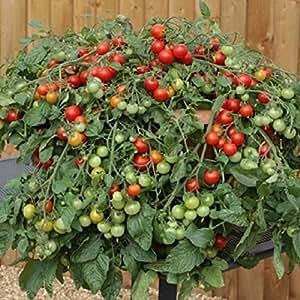 "Tomate ""abundancia rojo plantas X 3en macetas de 9cm."