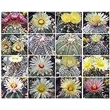 Astrophytum asterias KABUTO montrose rare japan cultivar cactus seed 10 SEEDS