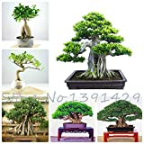 20pc Evergreen Bonsai Seeds Tree Seeds High Quality Fresh Banyan Tree Rare Seeds Free Shipping